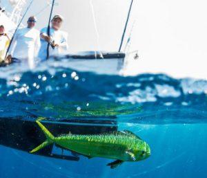 Dorado On A Lamiglas Bluewater Rod